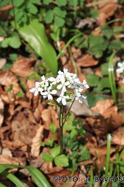 Cardamine trifolia
