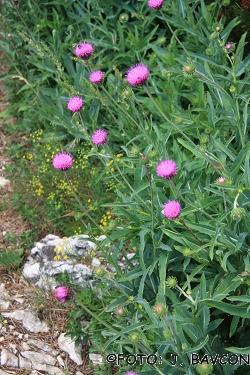Carduus crassifolius subsp. crassifolius