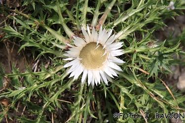 Carlina acaulis subsp. acaulis
