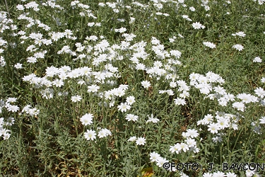 Cerastium grandiflorum