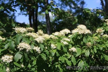 Cornus sanguinea subsp. australis
