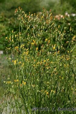 Crepis biennis