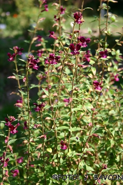 Cuphea procumbens