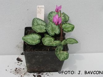 Cyclamen purpurascens 'Božakovo'