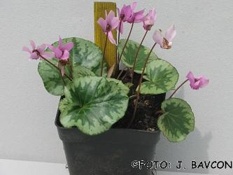 Cyclamen purpurascens 'Castra'