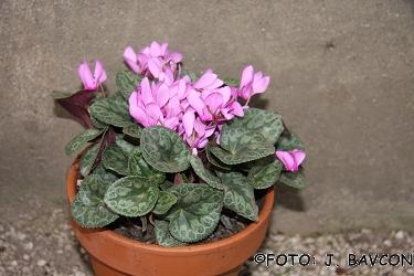 Cyclamen purpurascens 'Celje'