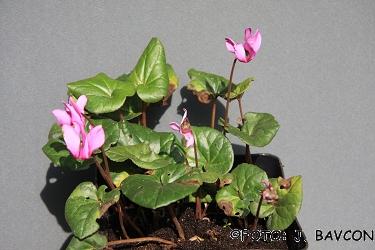 Cyclamen purpurascens 'Gozd'