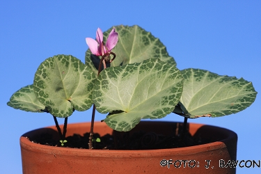 Cyclamen purpurascens 'Idrija'