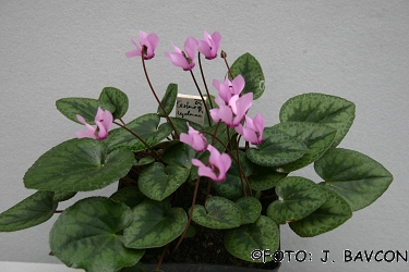 Cyclamen purpurascens 'Jelenk'