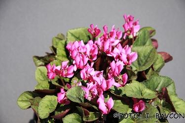 Cyclamen purpurascens 'Koupa'