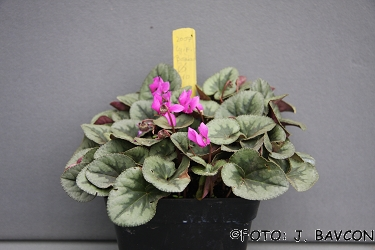 Cyclamen purpurascens 'Metlika'