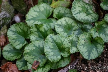 Cyclamen purpurascens 'Novo Mesto'