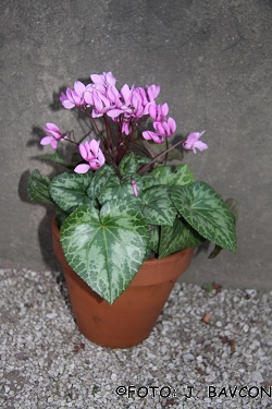 Cyclamen purpurascens 'Pik'