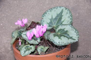 Cyclamen purpurascens 'Rosalnice'