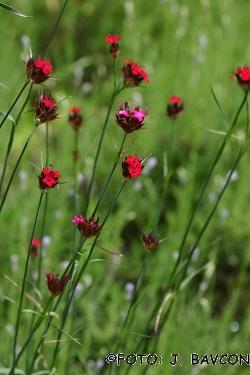 Dianthus sanguineus