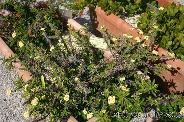 Euphorbia milii f. lutea