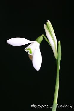 Galanthus nivalis 'Beli Zajček'