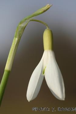 Galanthus nivalis 'Beloglavi'