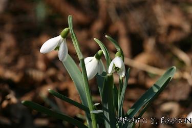 Galanthus nivalis 'Cesta'