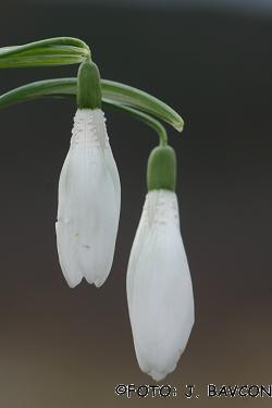 Galanthus nivalis 'Hrastovlje'
