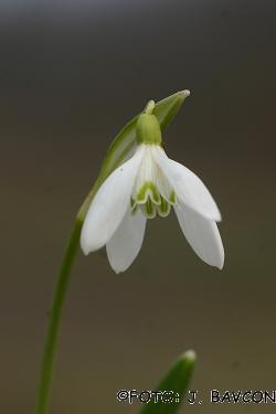 Galanthus nivalis 'Quartet'