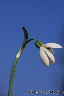 Galanthus nivalis 'Siamski Dvojčki'