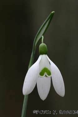 Galanthus nivalis 'Zeleni A'
