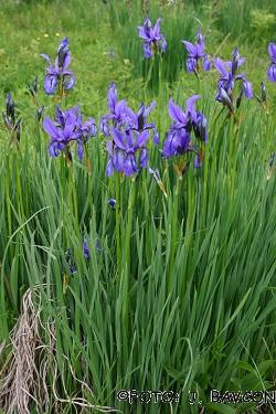 Iris sibirica subsp. erirrhiza
