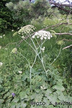 Laserpitium latifolium