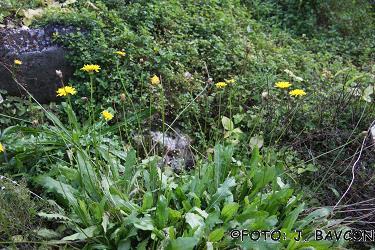 Leontodon hispidus subsp. brumatii
