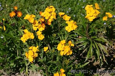 Matthiola incana cv.
