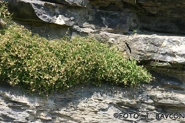 Moehringia villosa