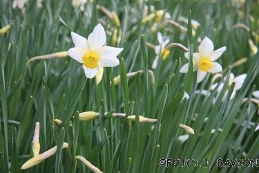 Narcissus x barii