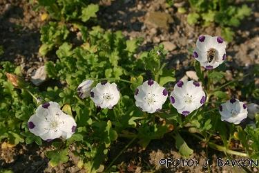 Nemophila maculata