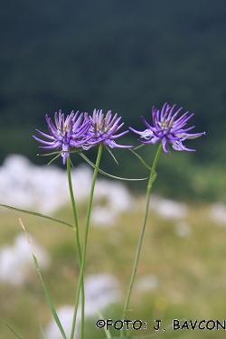 Phyteuma scheuchzeri