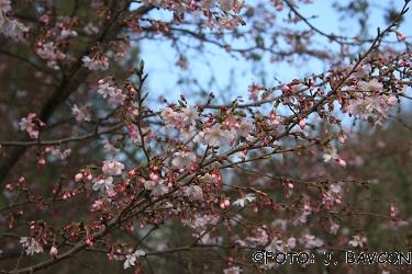 Prunus x subhirtella 'Automnalis Rosea'