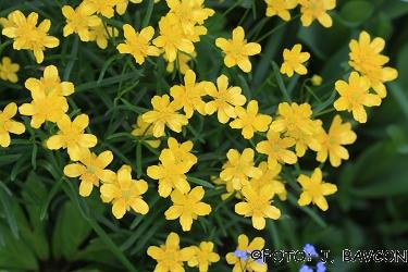 Ranunculus auricomus agg.