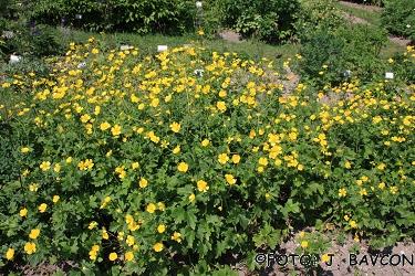 Ranunculus serbicus