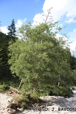 Salix eleagnos