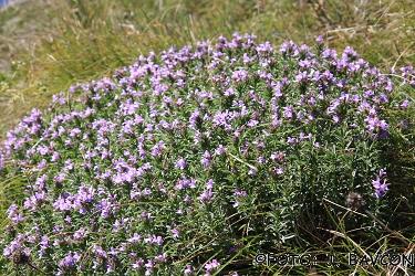 Satureja subspicata subsp. liburnica