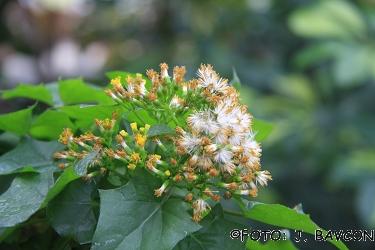 Senecio macroglossus