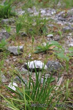 Tofieldia calyculata