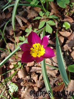 Tulipa violacea