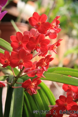 Vascostylis Pine River Red'
