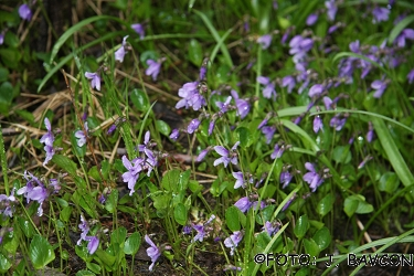 Viola uliginosa