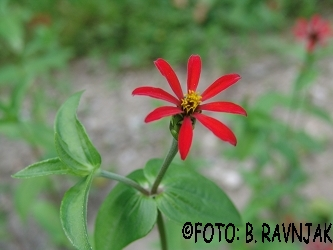 Zinnia pauciflora